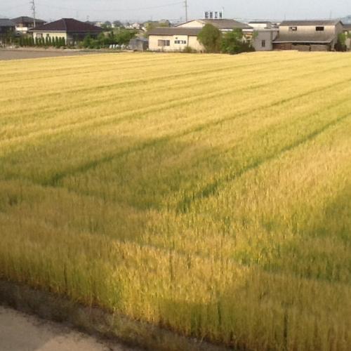 黄金色に輝く〜麦の穂